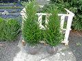 Taxus-baccata---Venijnboom---met-kluit--80-100